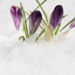Image: Crocuses in the snow