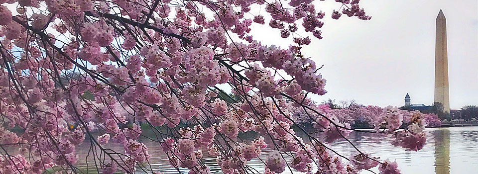 Cherry blossoms, by Diane Kresh